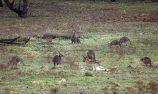 Every precaution taken to avoid 'wildlife' interrupting Bathurst
